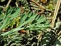 Eschscholzia californica 2019-04-16 0217.jpg