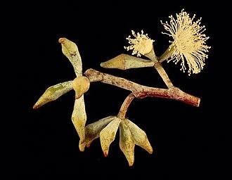 Eucalyptus albens - E. albens flowers and buds