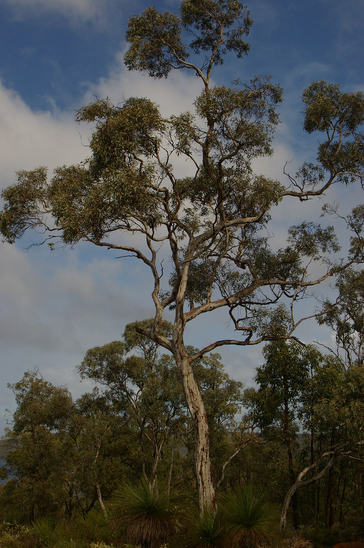 Eucalyptus Wandoo Wikipedia