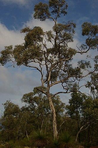 Eucalyptus wandoo - Image: Eucalyptus wandoo gnangarra