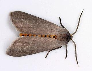 Euchaetina Tribe of moths