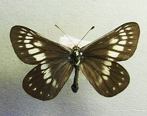 Madrone butterfly - Female Eucheira socialis