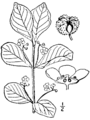 Euonymus obovatus BB-1913.png
