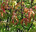 Euonymus verrucosus20090912 018.jpg