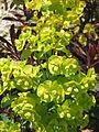 Euphorbia amygdaloides Purpurea02.jpg