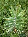 Euphorbia lathyris 126711642.jpg