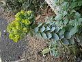 Euphorbia myrsinites RHu.JPG
