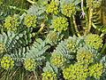 Euphorbia myrsinites reddish form (16660279818).jpg