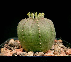 Euphorbia obesa - Female flowers