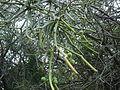 Euphorbia tirucalli 0005.jpg