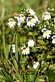 Euphrasia rostkoviana Hayne (8071044989).jpg