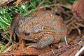 European Toad (Bufo bufo) (8619563914).jpg