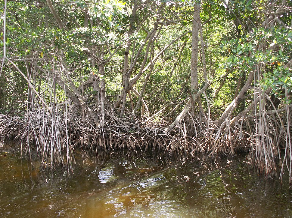 Everglades mangroves Buttonwood Canal