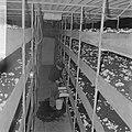 Ex-oesterkwekers in Yerseke halen de eerste champignons binnen, de kas, Bestanddeelnr 916-0729.jpg