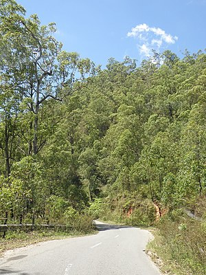 Extensive Eucalyptus urophylla, a montane Eucalypt, about 25 km souh of Dili along the Aileu Road.jpg