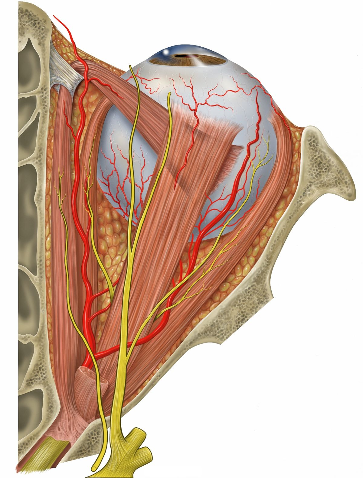Superior rectus muscle - Wikipedia