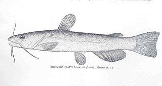 <i>Ameiurus platycephalus</i> species of fish