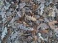 Fagales - Quercus robur - 016.jpg