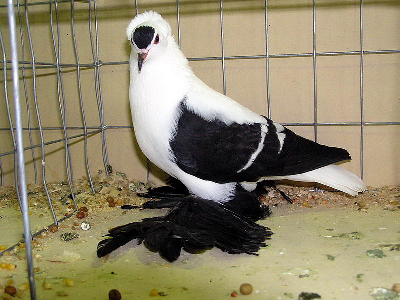 File:Fairy Swallow (Wing Pigeon).jpg