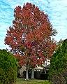 Fall Colors at Christmas (6508124327).jpg