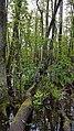 Fallen Tree in Swamp.jpg