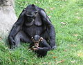 Female chimpanzee with baby (3308523904).jpg