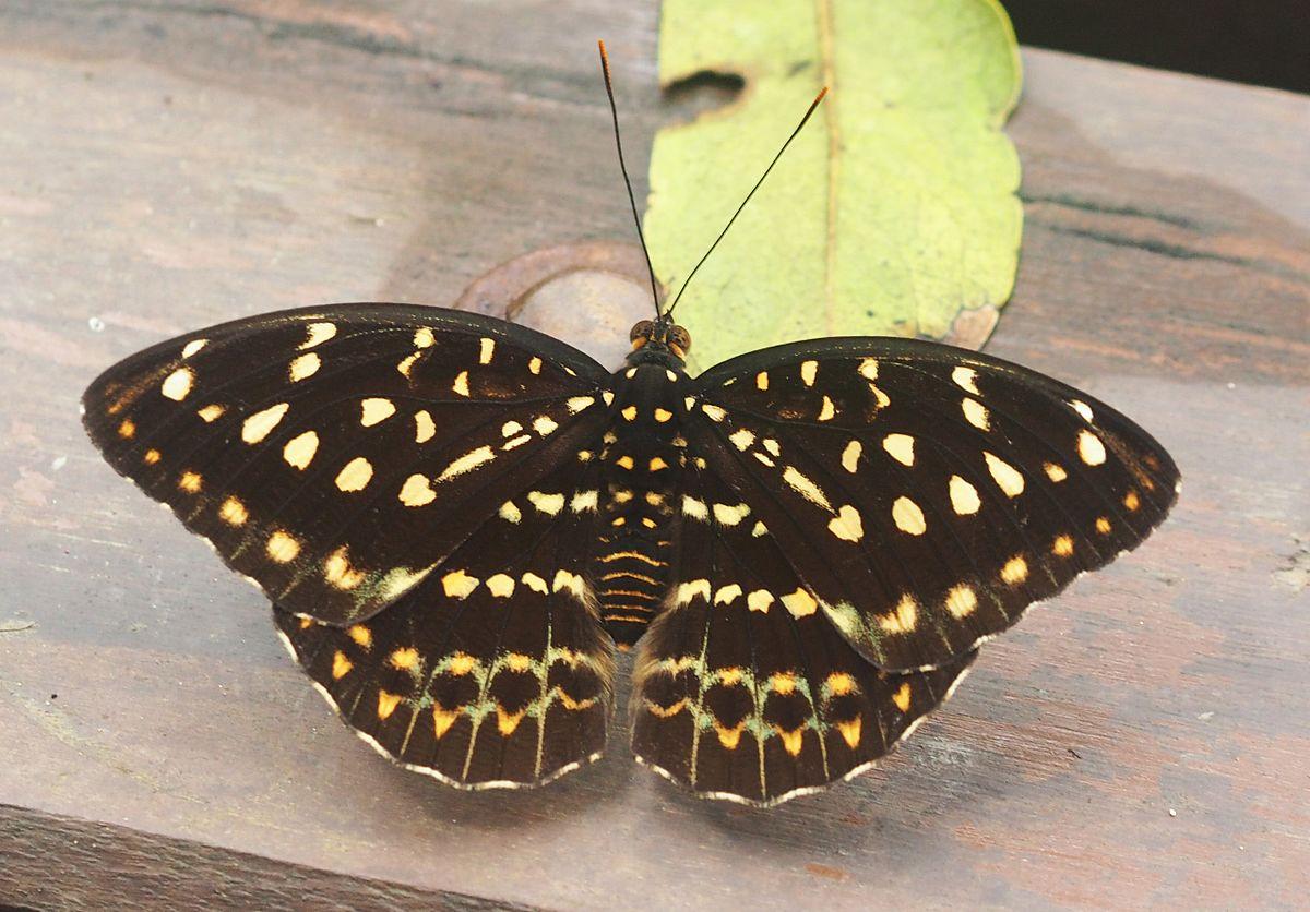 Archduke (butterfly) - Wikipedia
