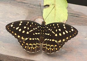 Archduke (butterfly) - Common archduke (female)