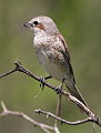 Female red-backed shrike, Lanius collurio at Marakele National Park, Limpopo, South Africa (16319396765).jpg