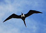 A large bird, dark except for a white breast and with gull wings and a long tail, soars overhead