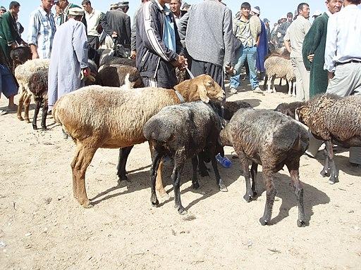 Fettschwanzschafe Usbekistan