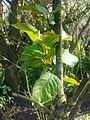 Feuilles d'un arbre non-identifié à Grez-Doiceau 002.jpg