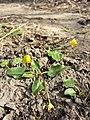Ficaria calthifolia sl51.jpg