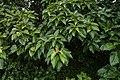 Ficus arnottiana 0721.jpg