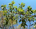 Ficus ingens, loof en vye, Eugene Marais Park.jpg