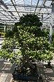 Ficus neriifolia 7zz.jpg