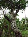 Ficus on Bischofia javanica.jpg