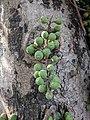 Ficus racemosa 52.jpg