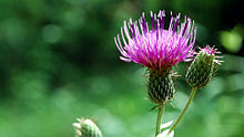 A photo of a field thistle (Cirsium discolor) in summer.
