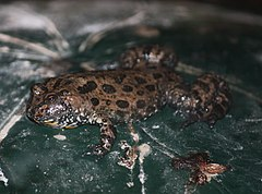 Fire-bellied Toad by Trisha.jpg