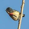 Fire-breasted flowerpecker (Dicaeum ignipectus ignipectus) male Phulchowki.jpg