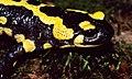 Fire Salamander (Salamandra salamandra) (36544850115).jpg