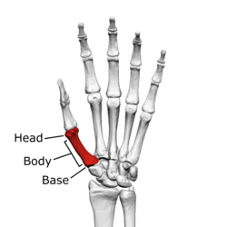 First metacarpal bone (left hand) 01 palmar view with label.png