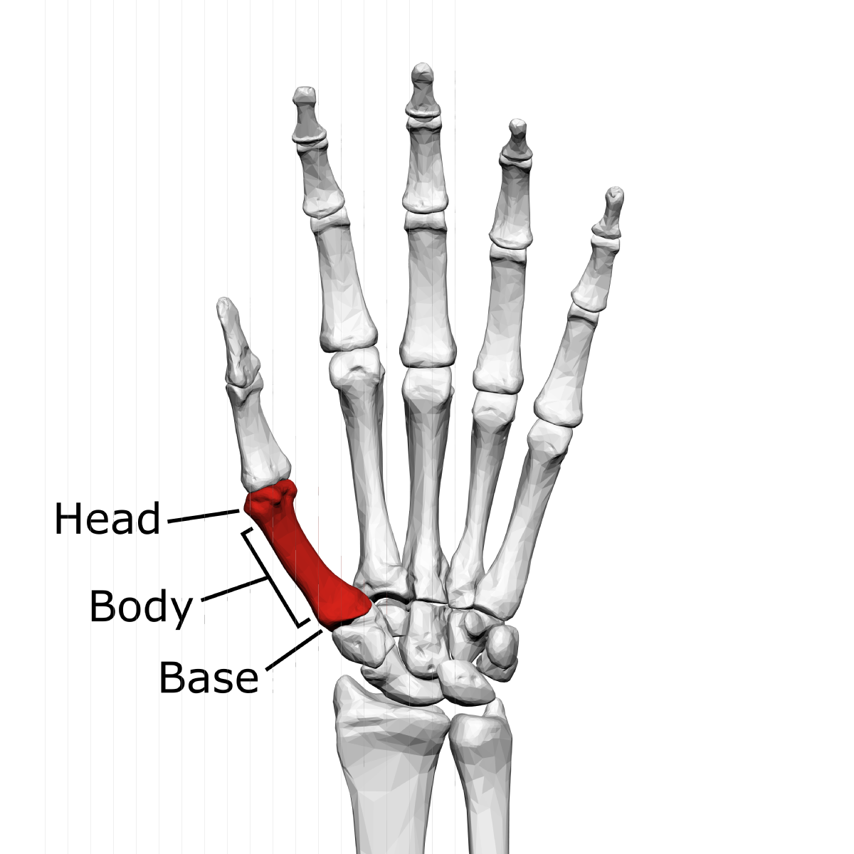 phalanges and also metacarpals