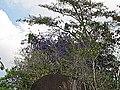 Flôr de São Miguel Ago 2010. - panoramio.jpg