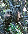 Fledgling Northern Spotted Owls (8739231002).jpg