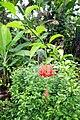 Fleur rouge à Ribeira Peixe (São Tomé).jpg