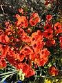 Fleurs orange inconnues.JPG