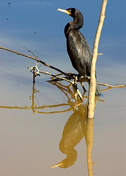 Flickr - Dario Sanches - BIGUÁ (Phalacrocorax brasilianus) (2).jpg