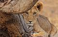 Flickr - Rainbirder - Lion cub.jpg